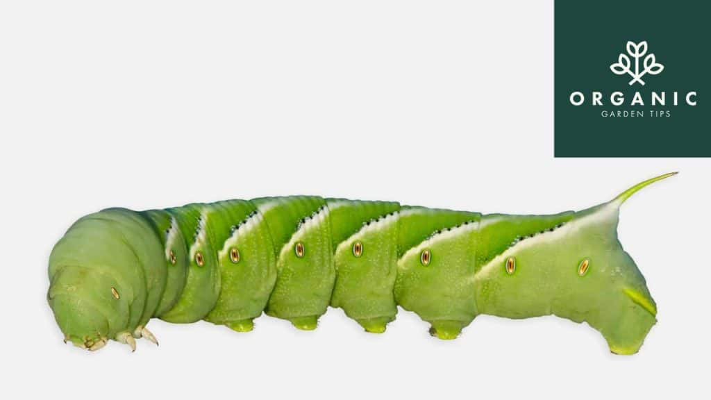 How to Identify and Get Rid of Hornworms