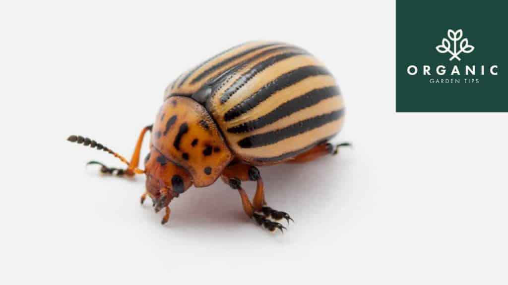 How to Identify and Get Rid of Potato Bugs