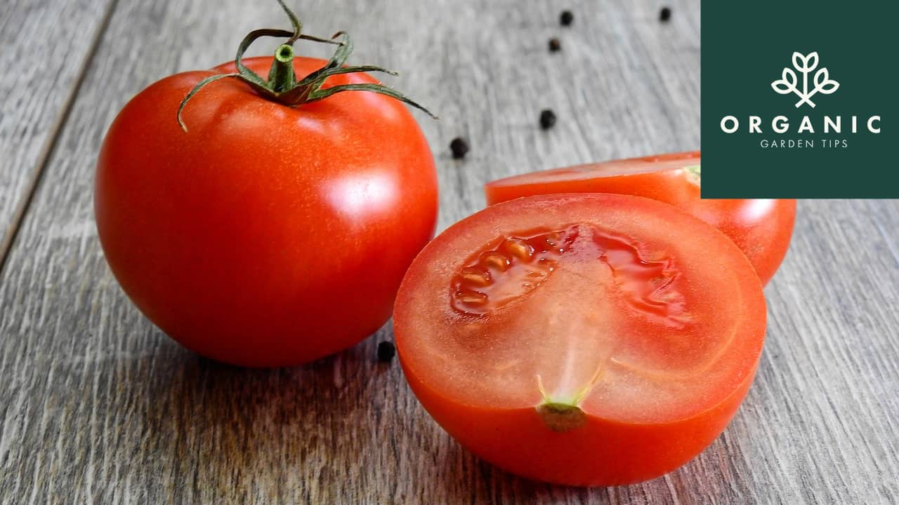 Saving Your Heirloom Tomato Seeds