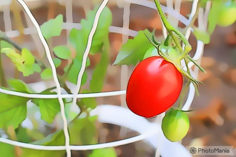 Cages to support tomato plants