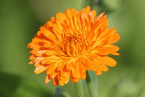 Orange colored calendula flower