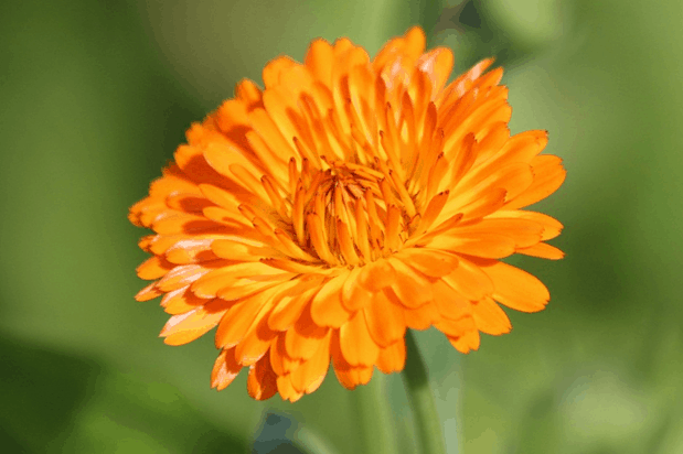Orange colored calendula flower