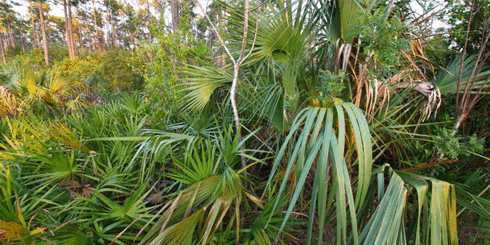 Saw palmetto growing haphazardly