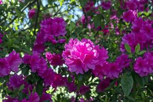 Beautiful pink colored azaleas