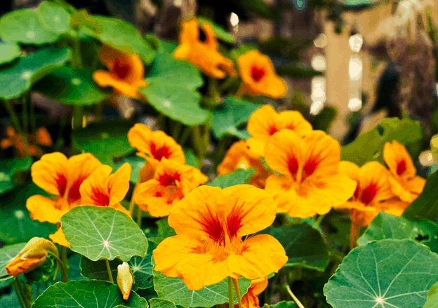 Yellow orange nasturtium flowers