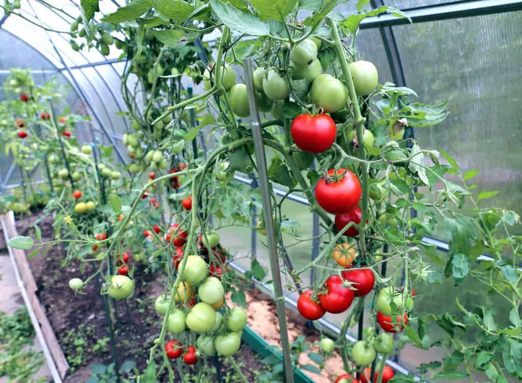 How to Ripen Tomatoes in a Greenhouse