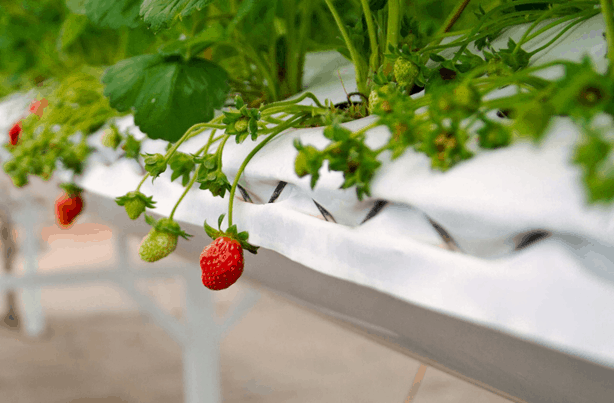 Grow strawberries indoors